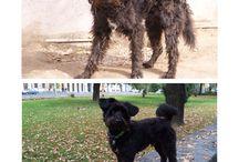 Tsongor / 4 years old, adopted, pumi mashup...