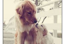 Golden retriever's
