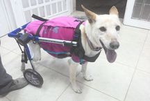 Help get Lunita to her forever home / Lunita is a disabled dog, who was abandoned with her broken wheel chair & diapers in Argentia. Taken in by Luba org, she is not ready to come to her furever home in the U.S- will you help her for the holidays?