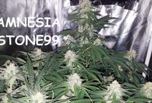 Strain: Amnesia Stone99 / Amnesia Stone99 is a cross matching a sweet pineapple/musky Stone99 and its classic potent cerebral high with the powerful body hit of  Amnesia Stone. Medium size plant with strong lateral branches. Expect colour change at late bloom to purple and black.