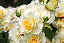 Floribunda Roses.