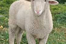 Sheep / Sheep don't have to be a big project! Find all your tips on sheep care here, and at Longbournfarm.com!