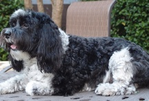 Havanese Dogs / by Judy Hogan