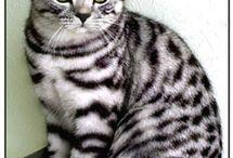 """British shorthair . a """"whiskas-cica"""""""