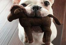 Französische Bulldogen