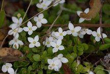 Dewees Island Spring Wildflowers / Spring Wildflowers of Coastal South Carolina