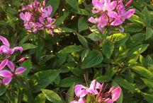 Plantes vivaces / Sélection de plantes vivaces produites par coclicoh.com horticulteur en ligne