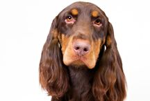 Field Spaniel / Field Spaniels resemble Cocker Spaniels but are longer and a bit larger. The distinctive glossy coat is either black or some shade of liver, or combinations of the two. They stand 17 or 18 inches at the shoulder and should present the picture of well-balanced, moderately proportioned hunting companions. The long, feathery ears frame a facial expression conveying a gentle intelligence. Field Spaniel movement appears effortless, with a majestic stride characteristic of the breed.
