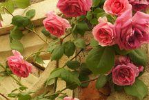 Rosas, camélias e dálias.