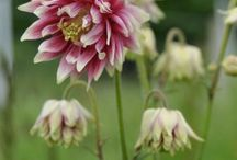 Aquilegia / All about Aquilegia. If you want to add pins to this board please add a note on our Facebook time line http://www.facebook.com/ShootGardening with the name of the board(s) you want to pin to. No ads please. / by Shoot Gardening