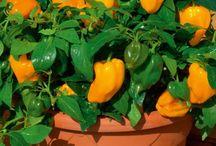 Groente groei / Chilli