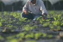 From the Field with Love / Family owned and operated for over 100 years, Driscoll's is passionate about growing great berries.  Take a look at where we grow and why we love our job! / by Driscoll's Berries