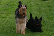 Dunya & Kira / My scottish terrier & Airedale terrier   R.I.P.