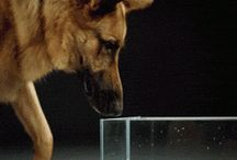 How dogs drink water
