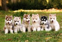 For the LOVE of Huskies!! / Huskies - Need I say more?? / by Mia Mohammed