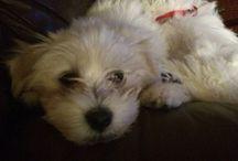 My loves / Havanese Puppies