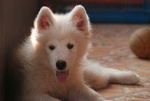 Dog / diego the samoyed