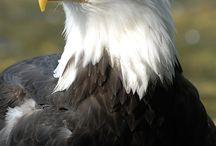 """ Raptors of the Air "" / Birds of Prey.."