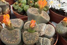 lithops / succulents, plant, cactus, flower, bloom, giromagi