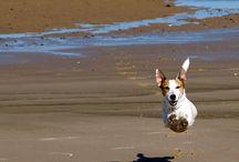 Jack Russell terriers