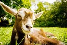 Raising Goats / by Tracy Jones