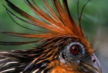 birds - hoatzin