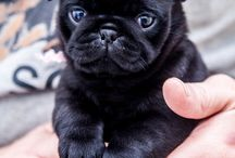 PUGS AND GRIFFON PLEASE