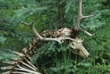 Anatomia jeleni / Deer anatomy
