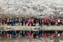 Cherry Blossoms Culture Festival