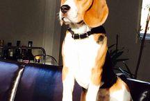 Our beagle <3 / Beagles