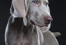 I LOVE all Weimaraners....and mine / by Rudra Rudy Precht