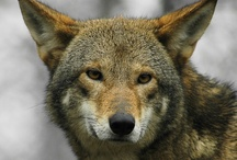 Red Wolf / by Bev Flowers Williams