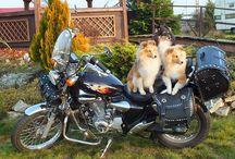 sheltie LOVESOME / Moje ukochane owczarki szetlandzkie :-) Wielkie psy w malutkim ciele....ale wciąż o wielkim sercu <3 <3 <3