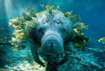 Manatees / by Earth's Hope