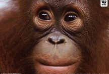 Orangutan Facial features / Various species of Orangutan used for facial details for sculpting or drawing