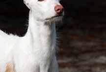 Ibizan hounds