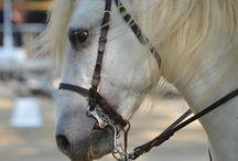 Les Rencontres Equestres / Plus de 500 chevaux. Un des plus grand rassemblements de Chevaux Ibériques d'Europe, Juillet 2016