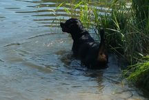 Rottweilers / Alles over Rottweilers
