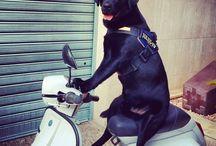 Pluto :) / Labrador retriver Nero