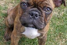Boxers / Pups I love