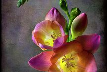 Fragrant freesia x / Most beautiful scent ever  / by Yvonne Simpson