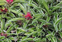 Tropical Bromeliads