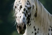 Appaloosa is the Breed of Choice / by Appaloosa Horse Club