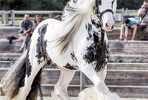 Cavallo/horse