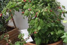 Fruit / Home grown fruit.