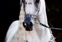 koně, horse, arabští, arabian