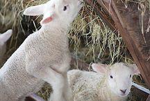 Schafe u alpaka u co
