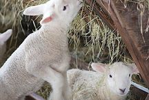 Owce, jagniątka