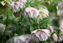 Bloom/Helleborus
