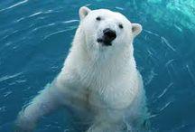 ursos polares e ursos pardos / criaturas maravilhosas